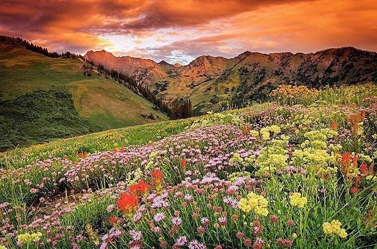 Wildflowers abound in Alta's Albion Basin. (Alta/Facebook)